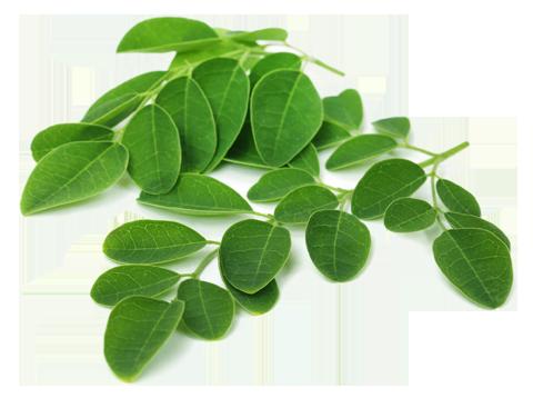 infusion moringa  vegetale